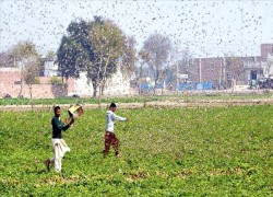 কোভিড-১৯ এর মধ্যে পঙ্গপালের হামলায় পাকিস্তান, ভারতে দুর্ভিক্ষের ঝুঁকি