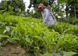 The organic farming revolution that may kill Sri Lanka's tea industry and threatens its rice, according to growers
